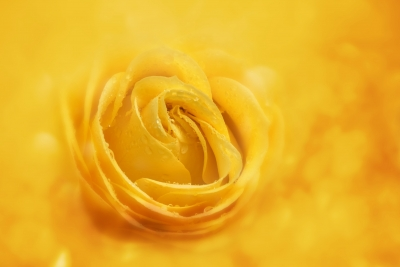 Yellow Rose by Victor Habbick